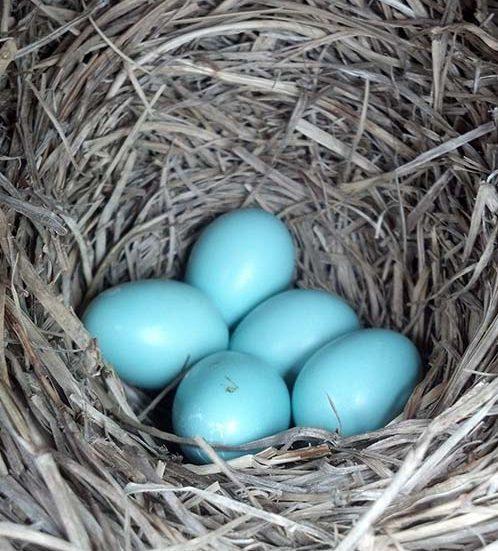 woodside bluebirds