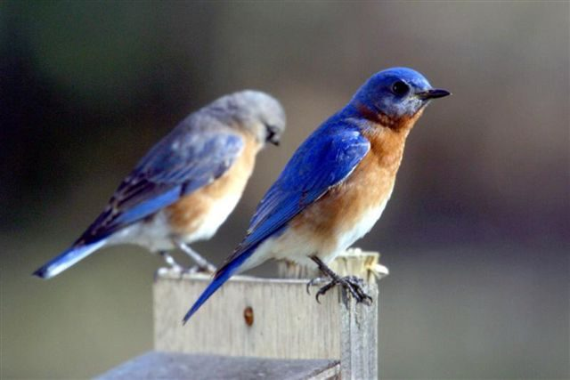 south carolina bluebird society