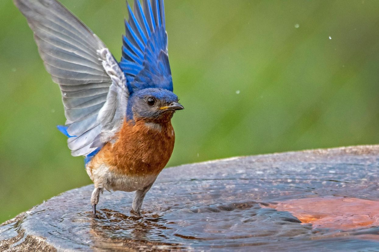 bluebird society